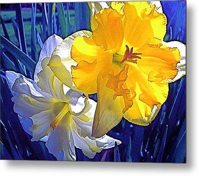 Daffodils 1 Metal Print by Pamela Cooper