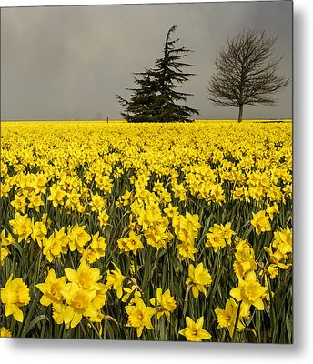 Daffodils A Plenty Metal Print by Tony Locke