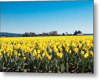 Daffodils And Blue Skies Metal Print