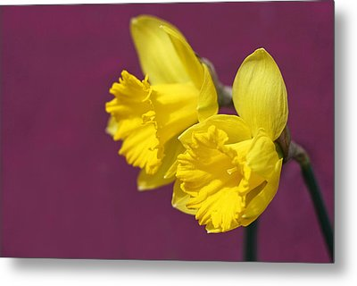 Metal Print featuring the photograph Daffodils by Barbara West