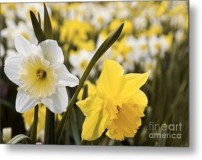 Daffodils Flowering Metal Print