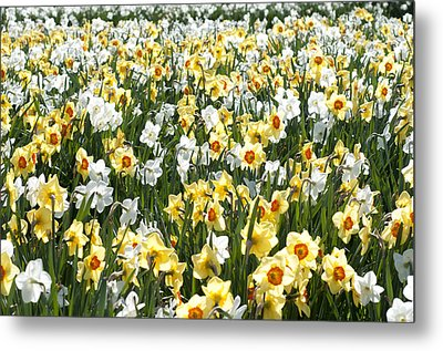 Metal Print featuring the photograph Daffodils by Lana Enderle
