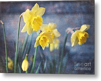 Metal Print featuring the photograph Daffodils by Sylvia Cook