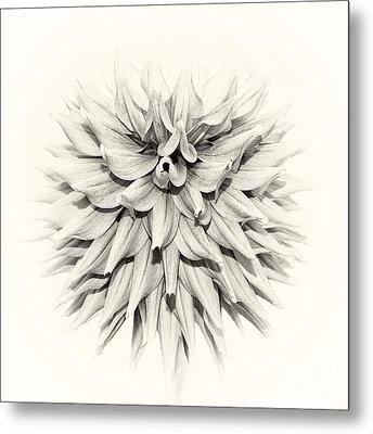 Dahlia 2 Metal Print by Janet Burdon