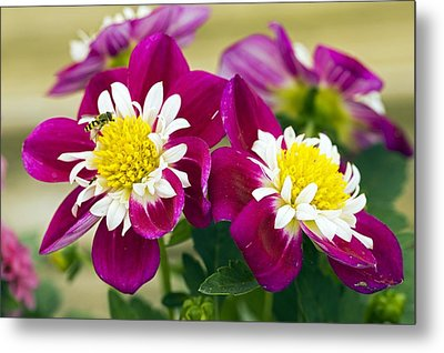 Dahlia Dahlietta 'surprise Becky' Metal Print by Science Photo Library