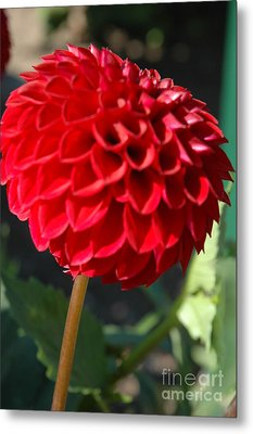 Metal Print featuring the photograph Dahlia IIi by Christiane Hellner-OBrien