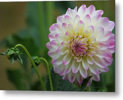 Dahlia In The Mist Metal Print