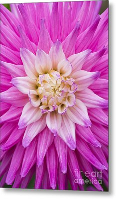 Dahlia Ruskin Andrea Flower Metal Print by Tim Gainey