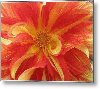 Dahlia Unfurling In Yellow And Red Metal Print by Dora Sofia Caputo Photographic Art and Design