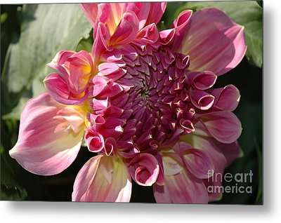 Metal Print featuring the photograph Dahlia V by Christiane Hellner-OBrien