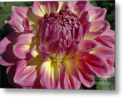 Metal Print featuring the photograph Dahlia Vii by Christiane Hellner-OBrien