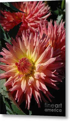 Metal Print featuring the photograph Dahlia Viii by Christiane Hellner-OBrien