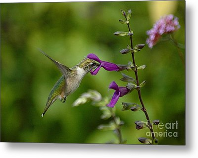 Dainty Sipper Metal Print by Tim Good