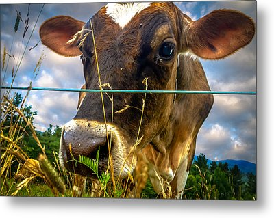 Dairy Cow Metal Print by Bob Orsillo