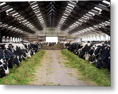 Dairy Cows Metal Print by Aberration Films Ltd