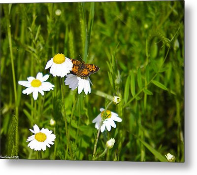 Daisey And Butterfly Metal Print