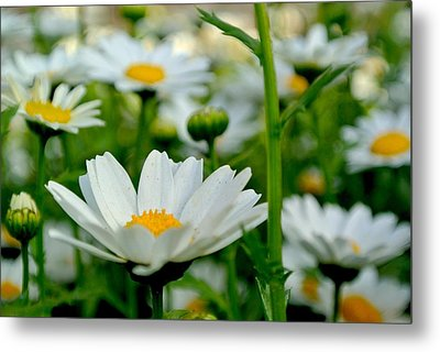 Daisies 3 Metal Print by Tamara Bettencourt