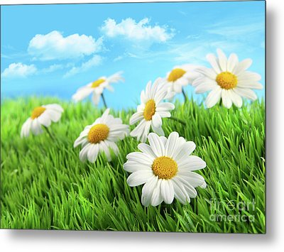 Daisies In Grass Against A Blue Sky Metal Print by Sandra Cunningham