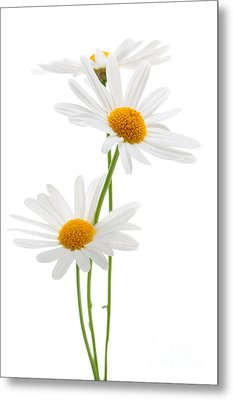 Daisies On White Background Metal Print by Elena Elisseeva