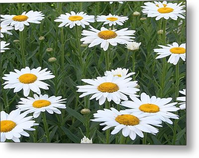 Daisies Metal Print by Tracey Harrington-Simpson