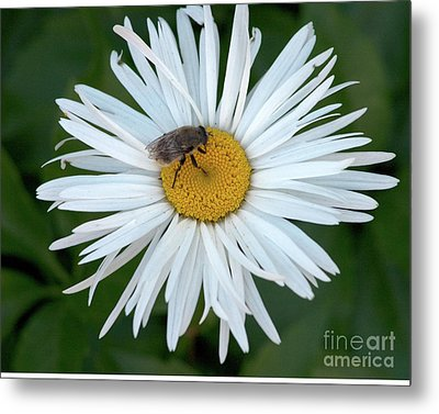 Daisy And Bee Metal Print
