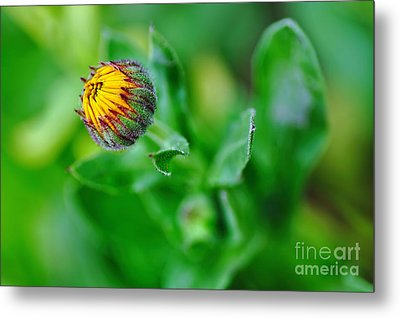 Daisy Bud Ready To Bloom Metal Print by Kaye Menner