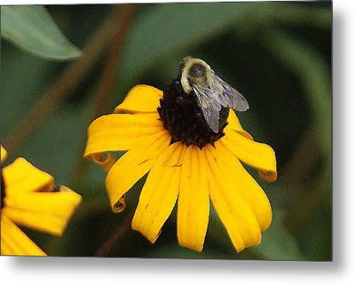 Daisy Bumble Bee Metal Print by B Wayne Mullins