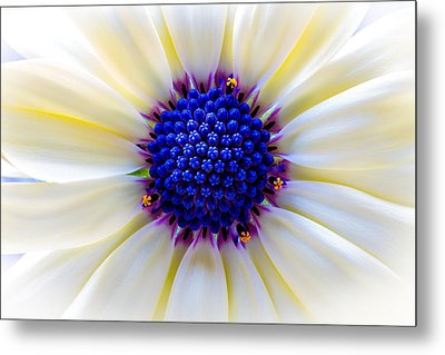 Daisy Centre Metal Print by Keith Hawley
