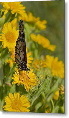 Metal Print featuring the photograph Daisy Daisy Give Me Your Anther Do by Gary Holmes