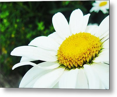 Metal Print featuring the photograph Daisy Daisy by Tiffany Erdman