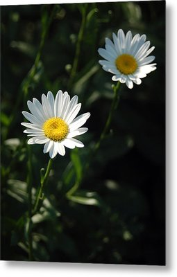 Daisy Days Metal Print by Suzanne Gaff