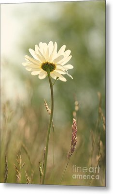 Daisy Dreams Metal Print by LHJB Photography