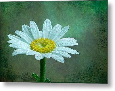 Daisy In The Rain Metal Print