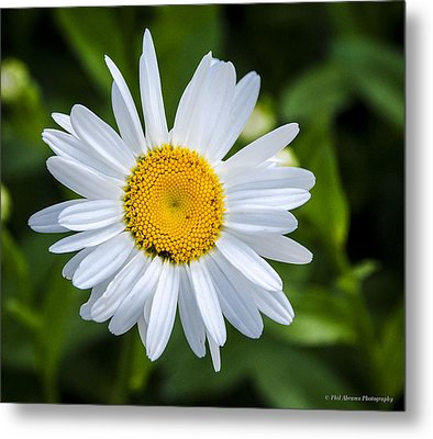 Metal Print featuring the photograph Daisy by Phil Abrams