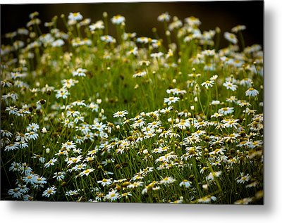 Daisy Sunrise Metal Print