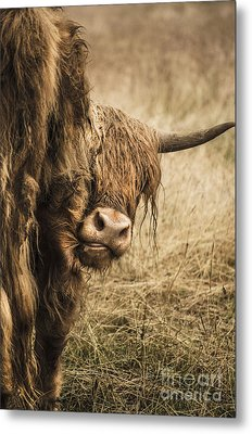 Highland Cow Damn Fleas Metal Print