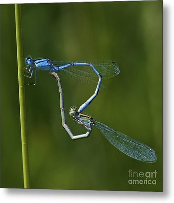 Damsel Love.. Metal Print by Nina Stavlund