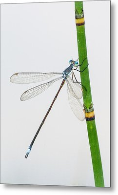 Damselfly On Horsetail Metal Print