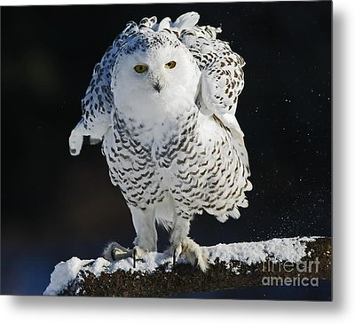 Dance Of Glory - Snowy Owl Metal Print by Inspired Nature Photography Fine Art Photography
