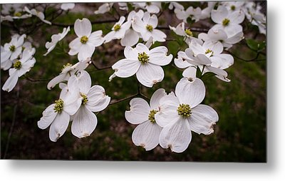 Metal Print featuring the photograph Dance Of The Dogwoods by Wayne Meyer