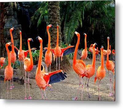 Dance Of The Flamingos Metal Print by Phyllis Beiser