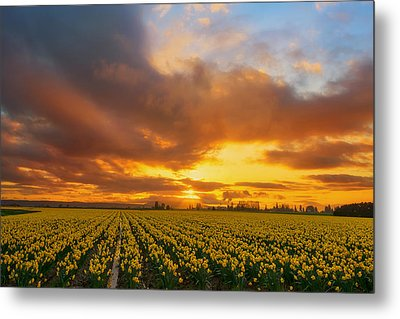 Dances With The Daffodils Metal Print by Ryan Manuel