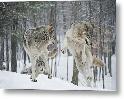 Metal Print featuring the photograph Dances With Wolves by Wolves Only
