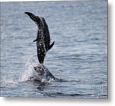 Dancing Dolphins Metal Print by Bob Hislop
