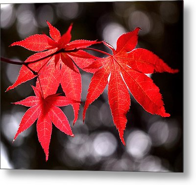 Dancing Japanese Maple Metal Print
