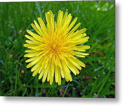 Metal Print featuring the photograph Dandelion And Spider by Laurie Tsemak