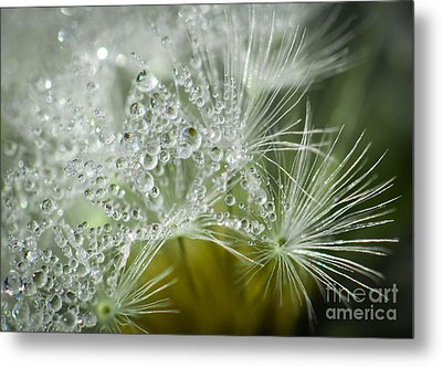 Dandelion Dew Metal Print by Amy Porter