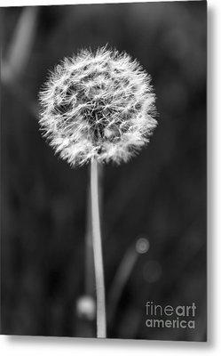 Dandelion In The Sun Metal Print