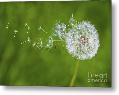 Dandelion In The Wind Metal Print