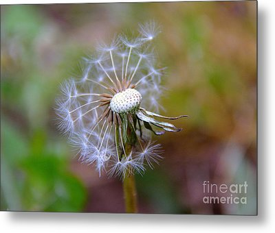 Metal Print featuring the photograph Dandelion by Lisa L Silva